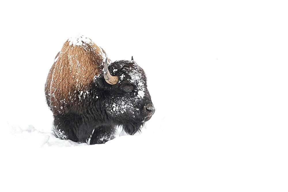 American bison, Bison Bison, covered in snow - 1335-115