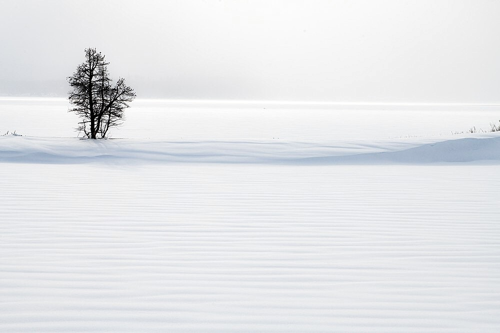 Lone tree in snow dune, Yellowstone National Park, Wyoming, United States - 1335-118
