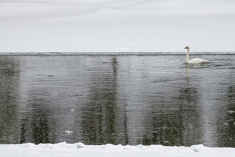 Trumpeter swan in river, Yellowstone National Park, Wyoming, United States - 1335-119