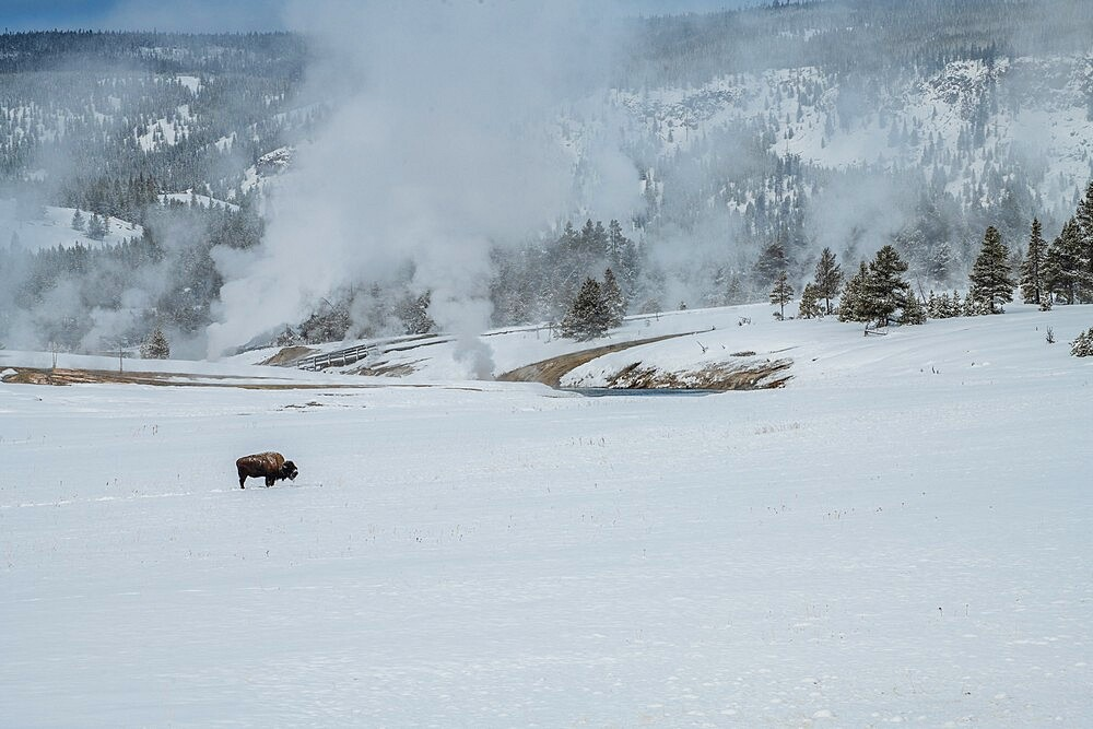 Lone American bison with steaming thermal features in the snow, Yellowstone National Park, Wyoming, United States - 1335-124