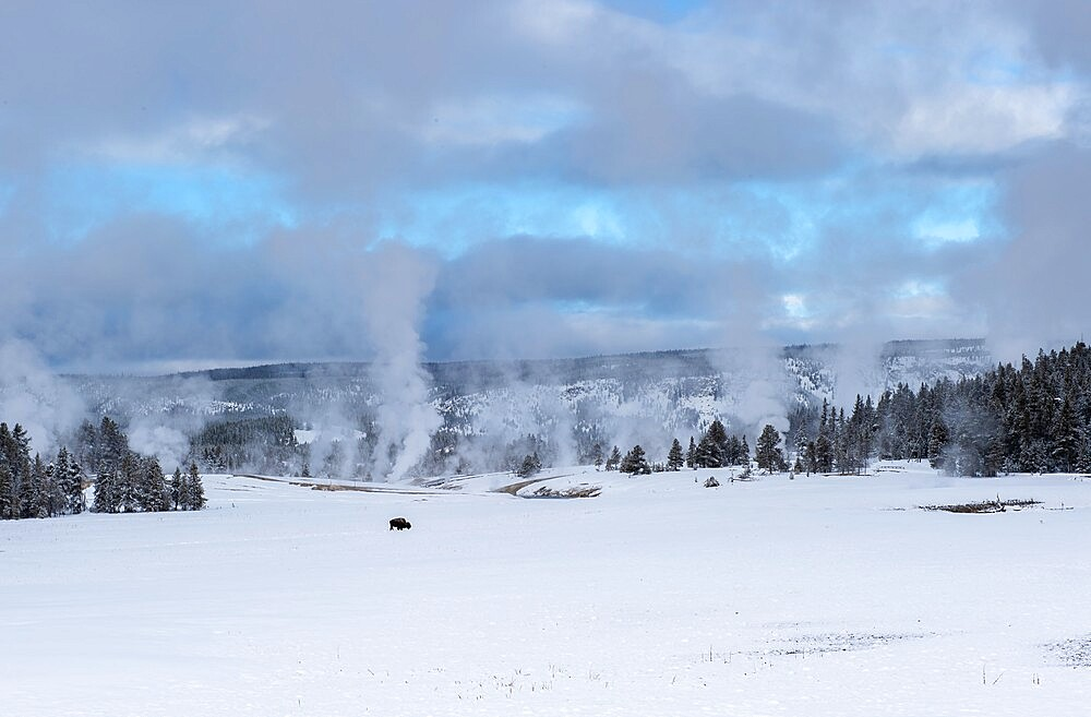 Lone American bison with steaming thermal features in the snow, Yellowstone National Park, Wyoming, United States - 1335-135