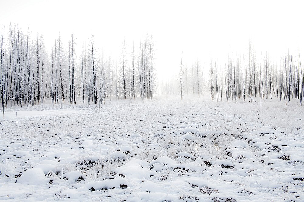 Snowscape with trees in the fog, Yellowstone National Park, Wyoming, United States - 1335-139