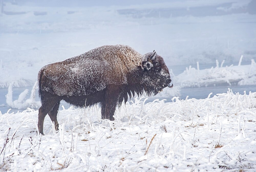 Frozen bison, Bison Bison, sticking out tongue, Yellowstone National Park, Wyoming, United States - 1335-145