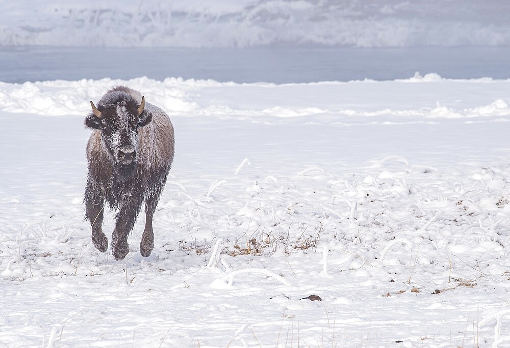 Frozen bison, Bison Bison, running across snow, Yellowstone National Park, Wyoming, United States - 1335-146