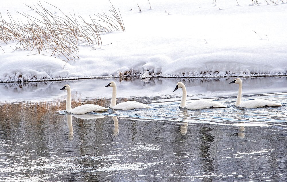 Four trumpeter swans, Cygnus buccinator, on the river with reflection, Yellowstone National Park, Wyoming, United States - 1335-148
