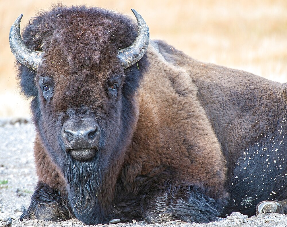 Close up of American Bison, Yellowstone National Park, Wyoming, United States - 1335-149