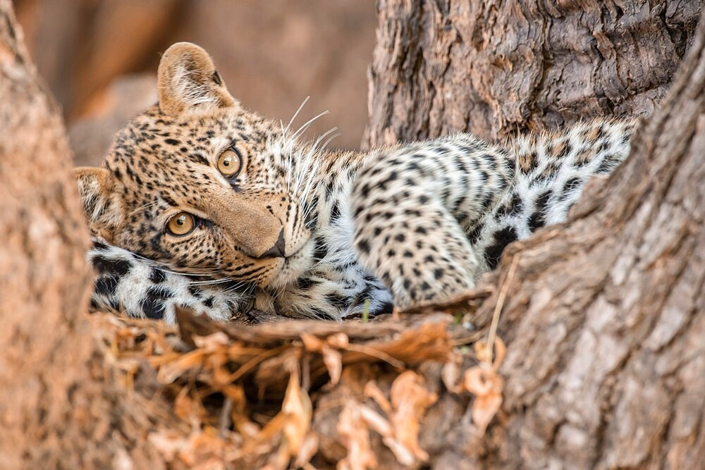 Young leopard resting in a tree, South Luangwa National Park, Zambia - 1335-159