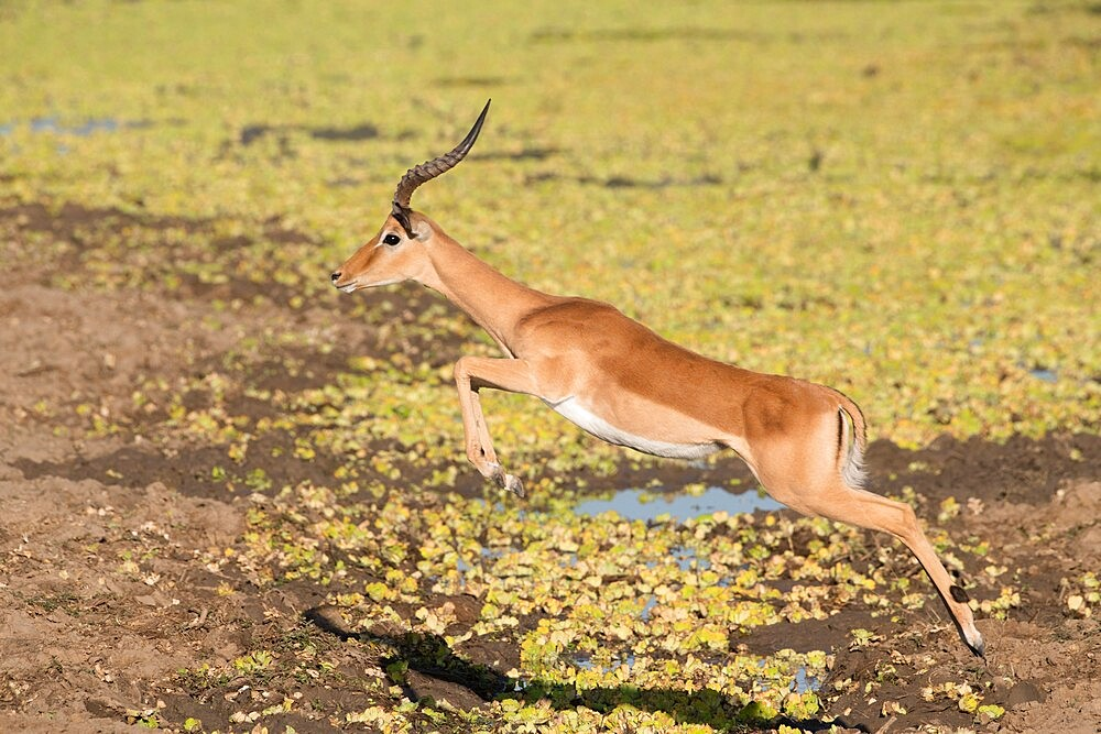 Male impala, Aepyceros melampus, jumping over water, South Luangwa National Park, Zambia - 1335-163