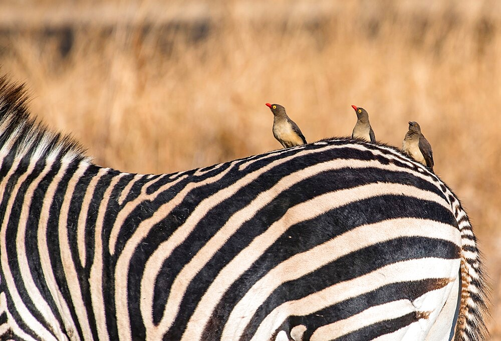 Oxpeckers, Buphagus, on a zebra, Equus quagga, South Luangwa National Park, Zambia - 1335-165