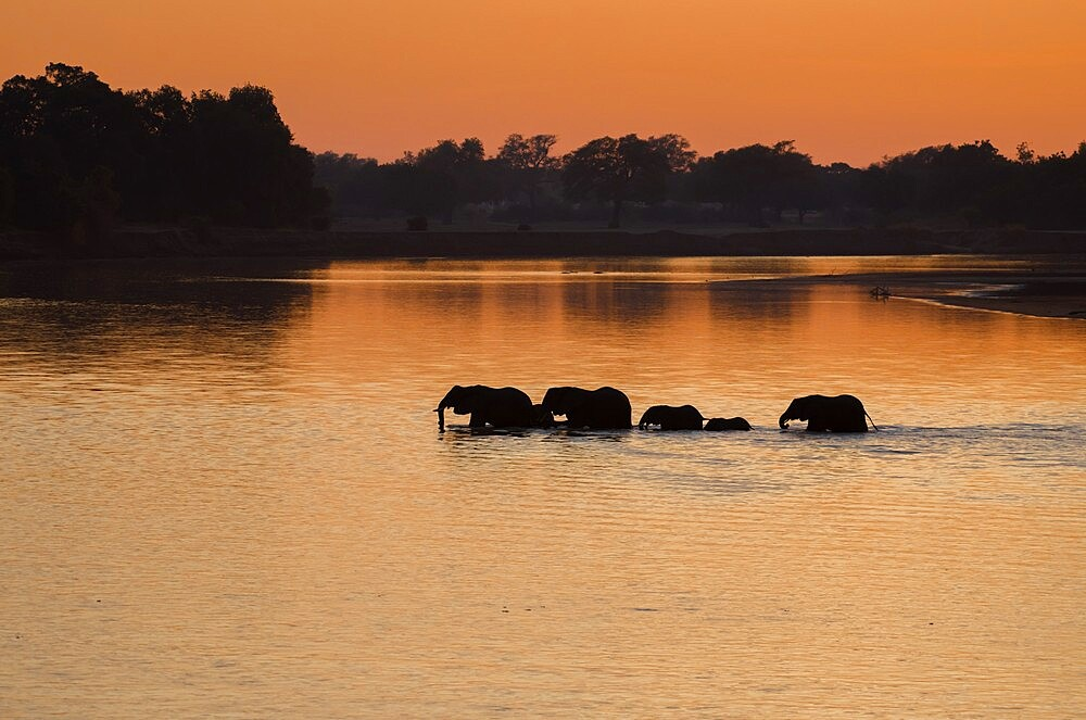 Silhouette of elephants, Loxodonta,crossing the river in the morning light, South Luangwa National Park, Zambia - 1335-167