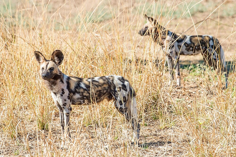 African wild dogs, Lycaon pictus, in the brush, South Luangwa National Park, Zambia - 1335-170