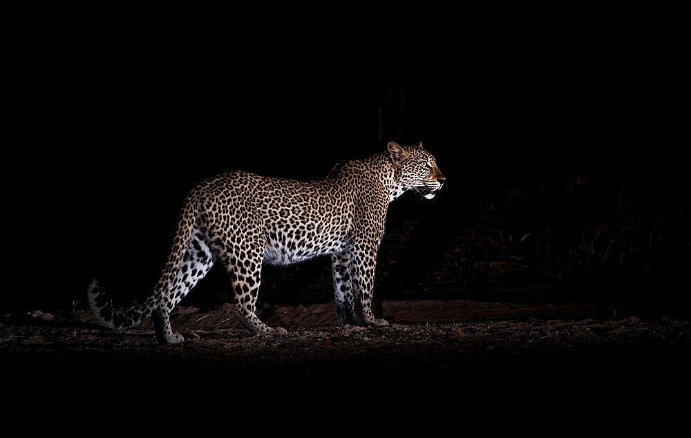 Leopard at night, Panthera pardus, South Luangwa National Park, Zambia - 1335-173