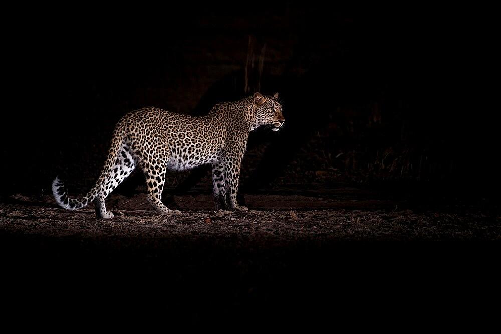 Leopard at night, Panthera pardus, South Luangwa National Park, Zambia - 1335-175