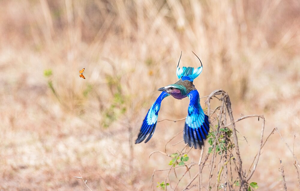 Lilac-breasted roller, Coracias caudatus, chasing butterfly, South Luangwa National Park, Zambia - 1335-176