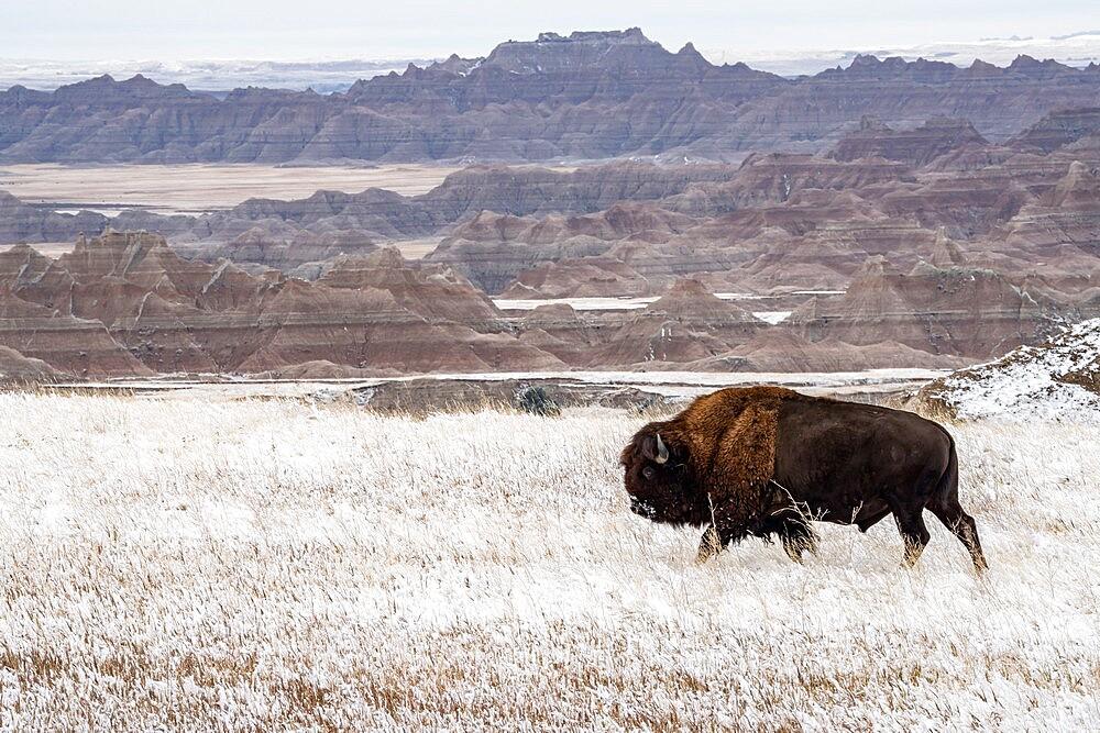 American Bison, Bison Bison, walking in the snow in the Badlands, Badlands National Park, South Dakota, United States - 1335-70