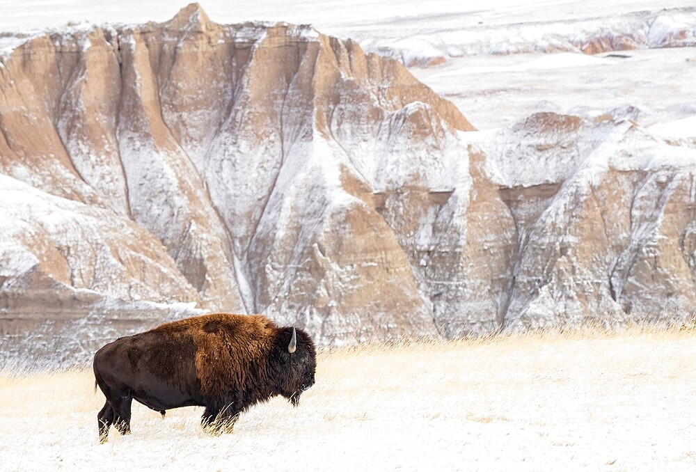 Profile of American Bison, Bison Bison, in the snow in the Badlands, Badlands National Park, South Dakota, United States