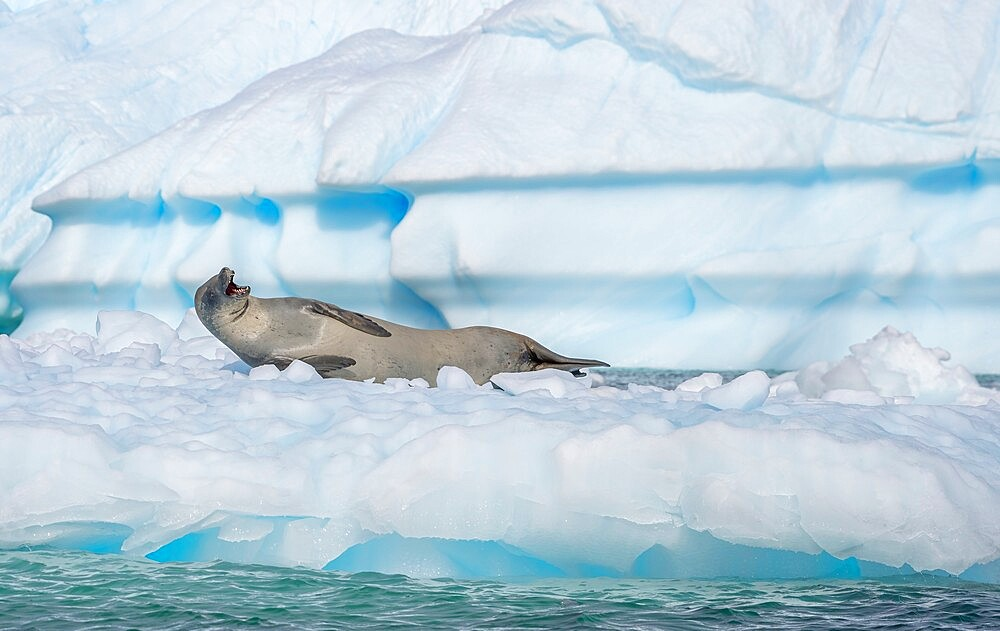 Crabeater seal with open mouth on ice flow Antarctica, Polar Regions - 1335-84