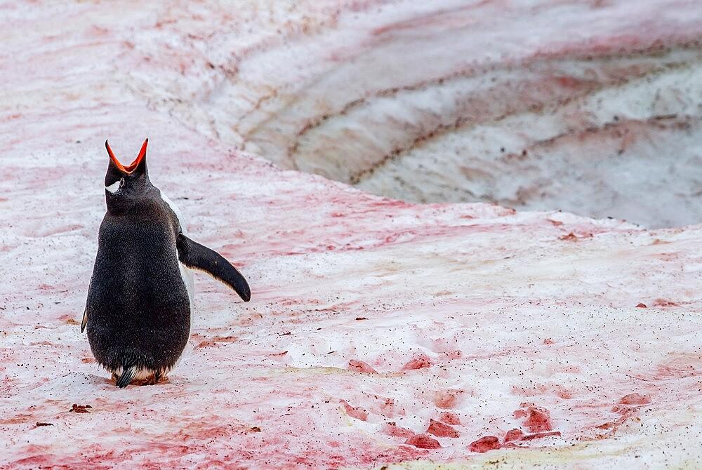 Gentoo penguin vocalizing on snow with red algae Antarctica, Polar Regions - 1335-89