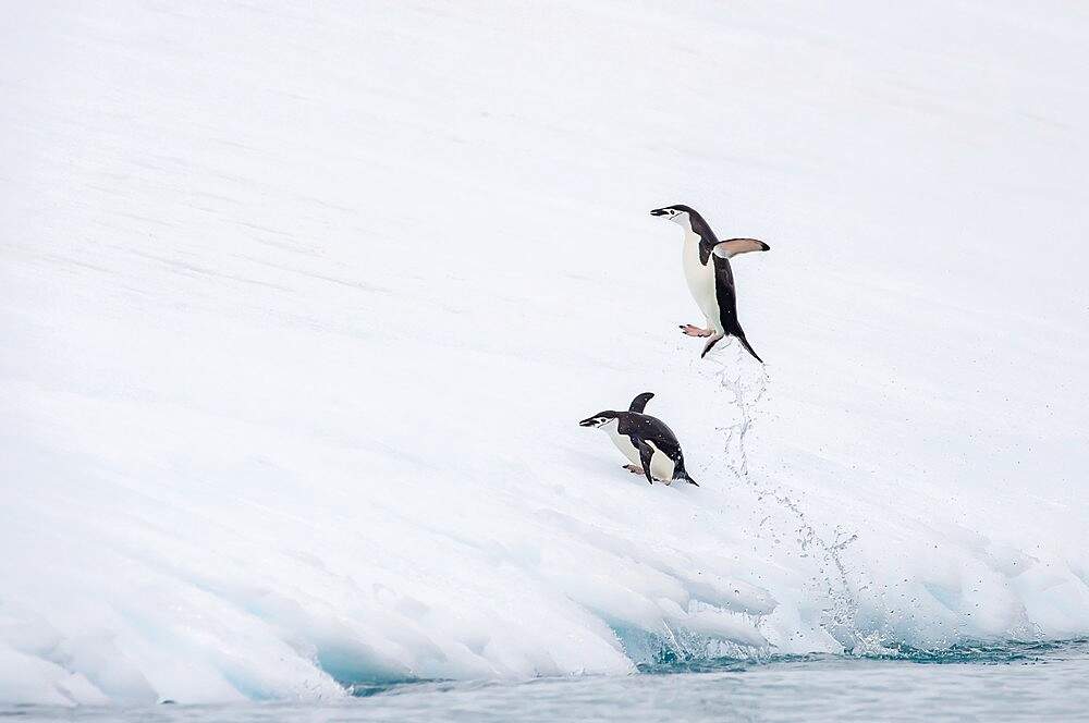Chinstrap penuin jumping out of water Antarctica, Polar Regions - 1335-90
