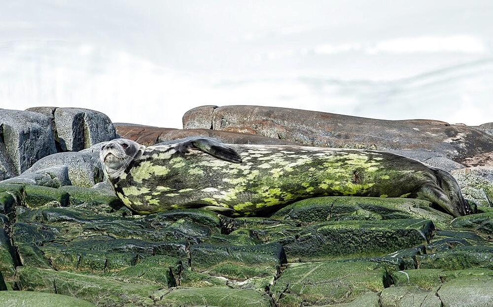 Crabeater seal camoflagued in algae, Antarctica, Polar Regions - 1335-91