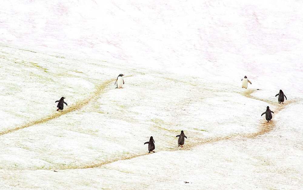 Gentoo penguins marching on trails through the ice Antarctica, Polar Regions - 1335-92