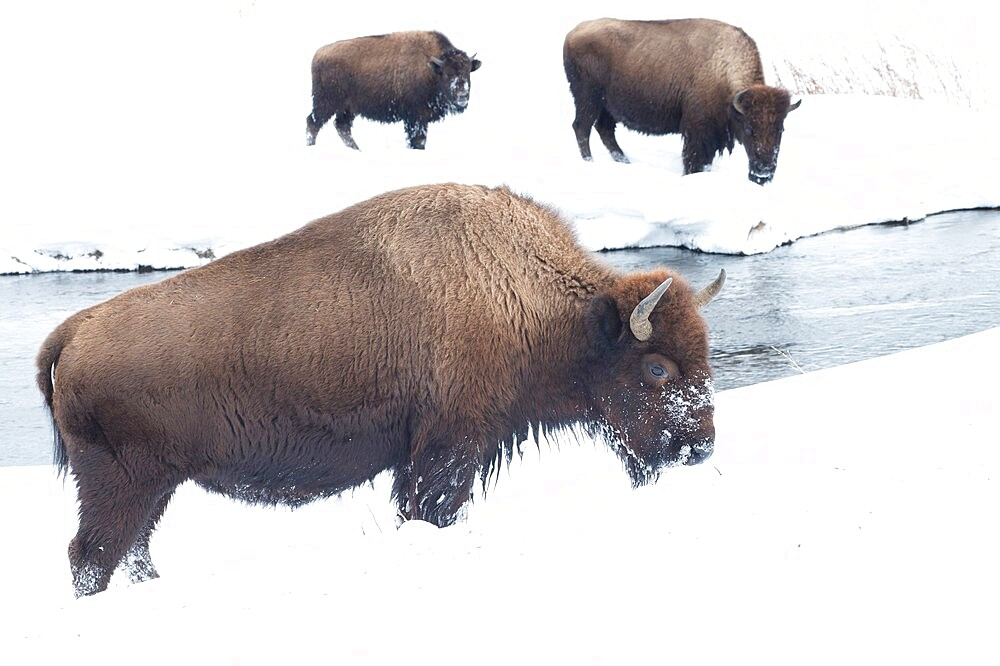 American bison, Bison Bison, in the snow on a river bank, Yellowstone National Park, Wyoming, United States - 1335-99