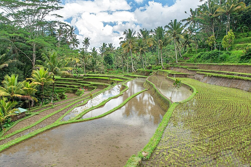 Rice terraces flooded in the jungle, Bali, indonesia - 1336-172