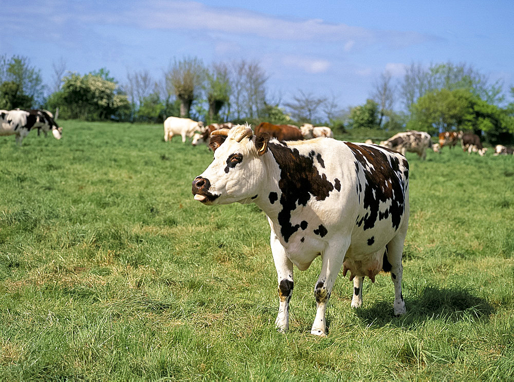 Brown and white cows, traditional in the Normandy countryside, Normandy, France, Europe
