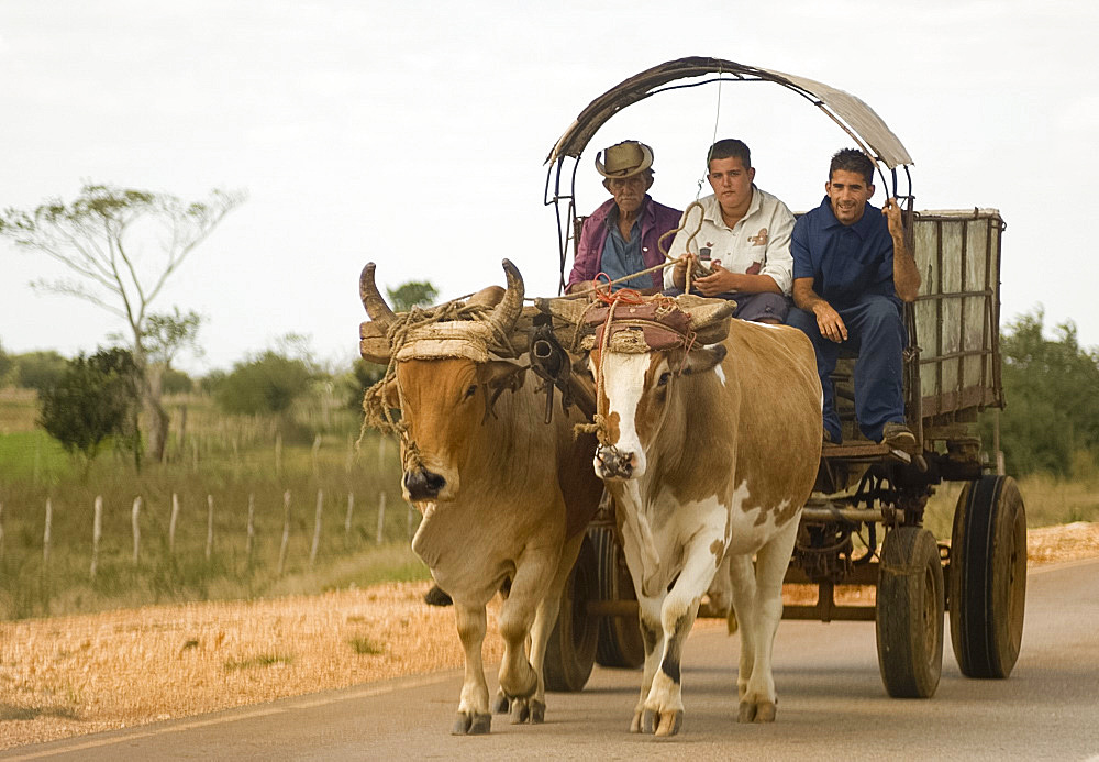 Three men riding in an ox cart, Sancti Spiritus province, Cuba, West Indies, Central America