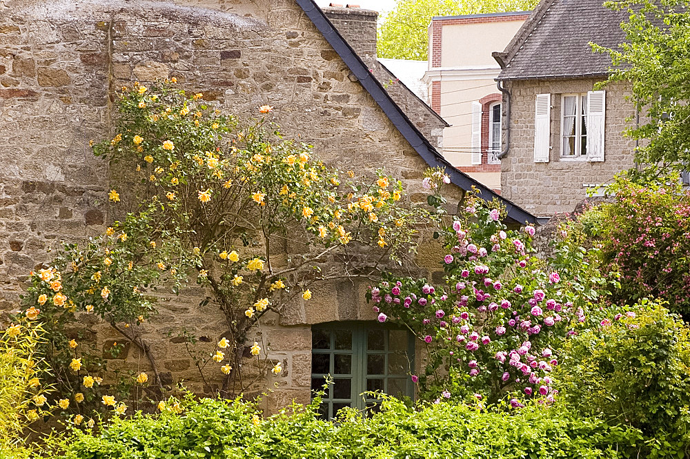An old stone cottage covered with pink and yellow roses in Dinan, Brittany, France, Europe