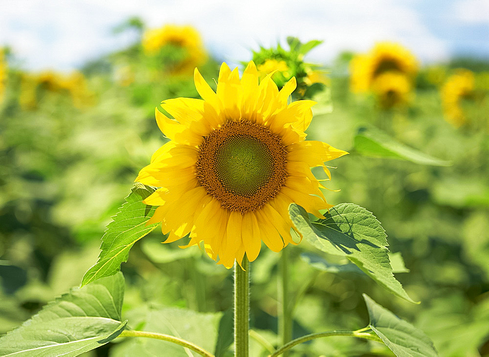 Field of sunflowers, Tuscany, Italy, Europe