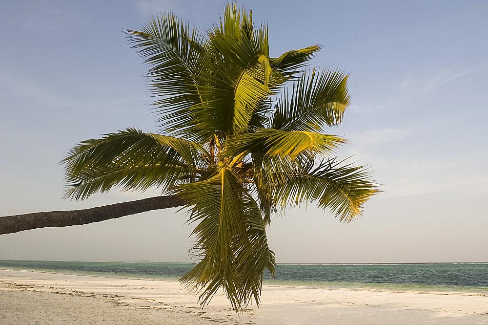 A palm tree leaning out over Matemwe beach, Zanzibar, Tanzania, East Africa, Africa
