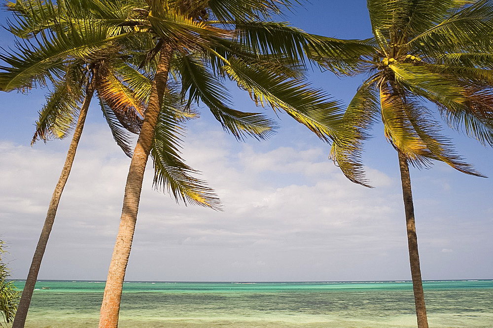 Palm trees above emerald sea, Pingwe, Zanzibar, Tanzania, East Africa, Africa