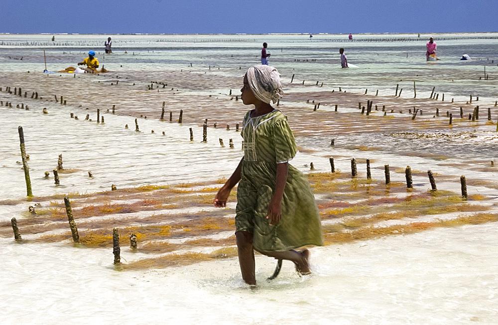A young girl walking through the seaweed farms in the sea, Paje, Zanzibar, Tanzania, East Africa, AFrica