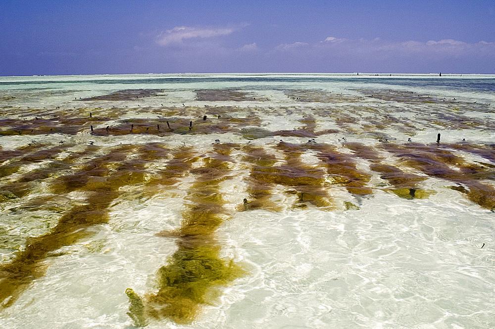 Seaweed farms in the sea at low tide, Paje, Zanzibar, Tanzania, East Africa, Africa
