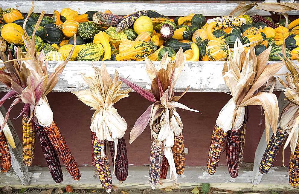 Indian corn and gourds for sale at a roadside stand in Massachusetts, New England, United States of America, North America