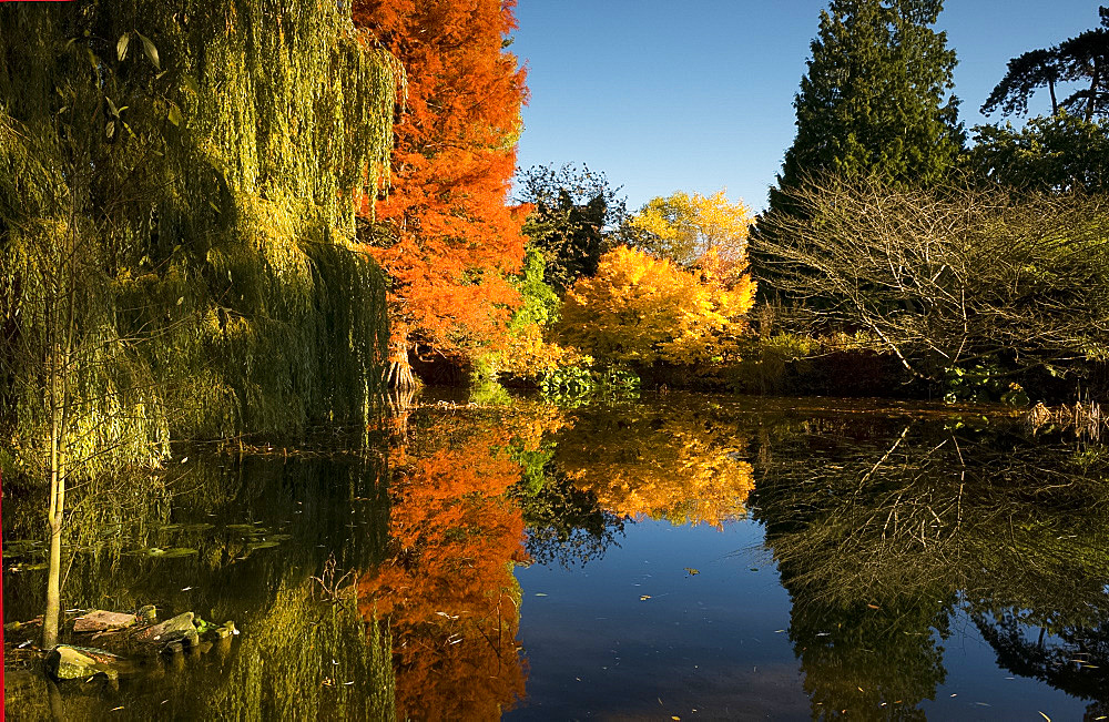 Reflections of autumn foliage in the Bog Garden at the Cambridge Botanic Garden, Cambridge, Cambridgeshire, England, United Kingdom, Europe