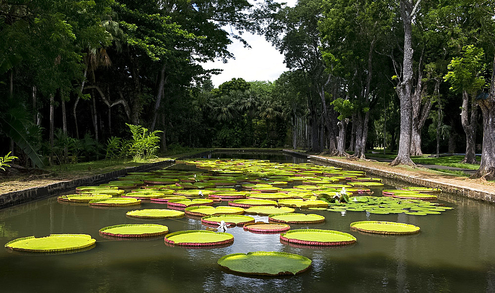 Victoria amazonica (giant water lily) at The Seewoosagur Ramgoolam Royal Botanical Garden, Pamplemousses, Mauritius, Indian Ocean, Africa - 149-6609