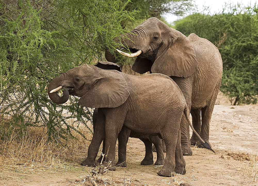 Young elephants and their mother (Loxondonta africana) eating acacia leaves in Tarangire National Park Tanzania, East Africa, Africa