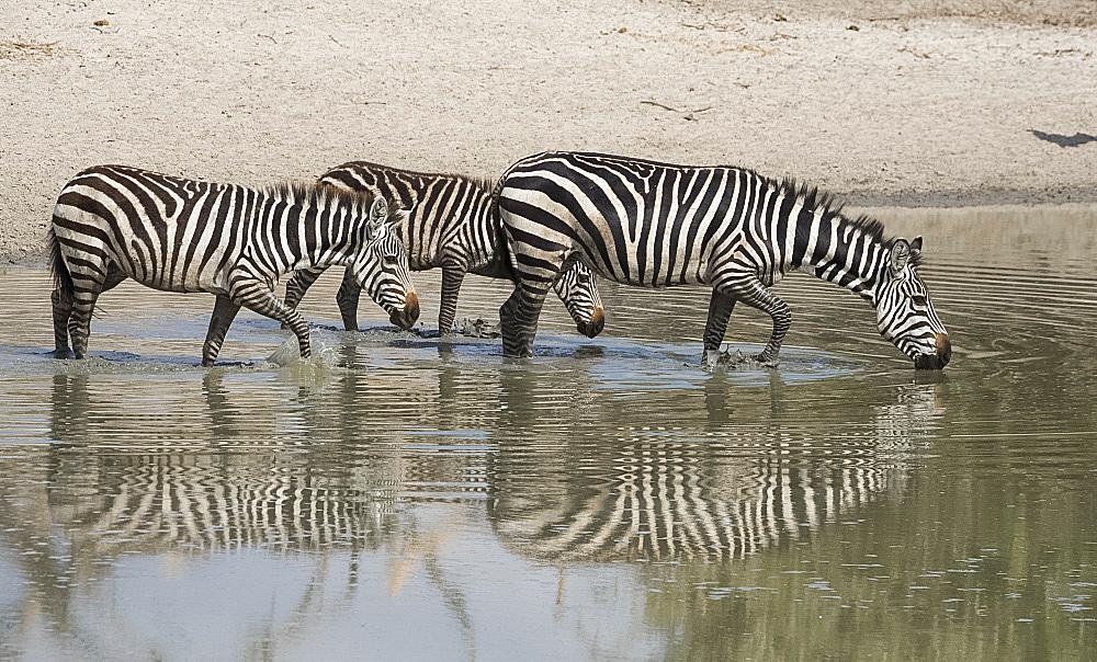 Burchells zebras (Equus burchelli) drinking at a water hole in the Tarangire National Park, Manyara Region, Tanzania, East Africa, Africa