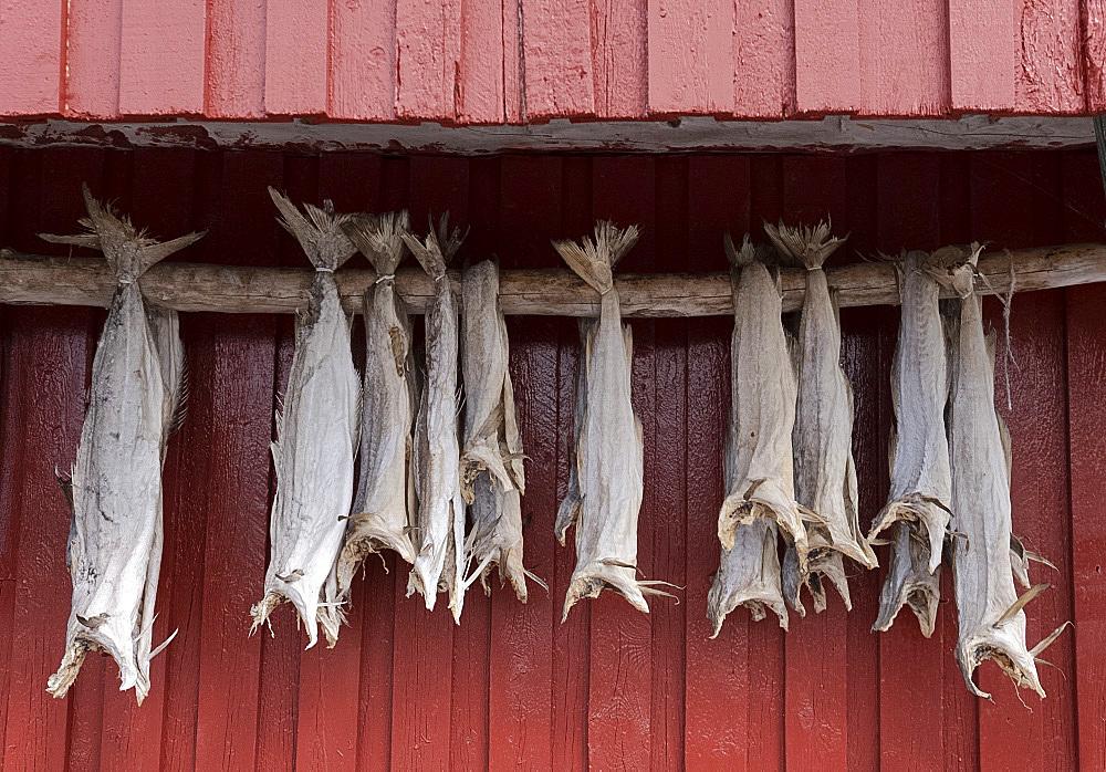 Cod drying on a wooden pole in Reine, Moskenesoy, the Lofoten Islands, Norway, Europe