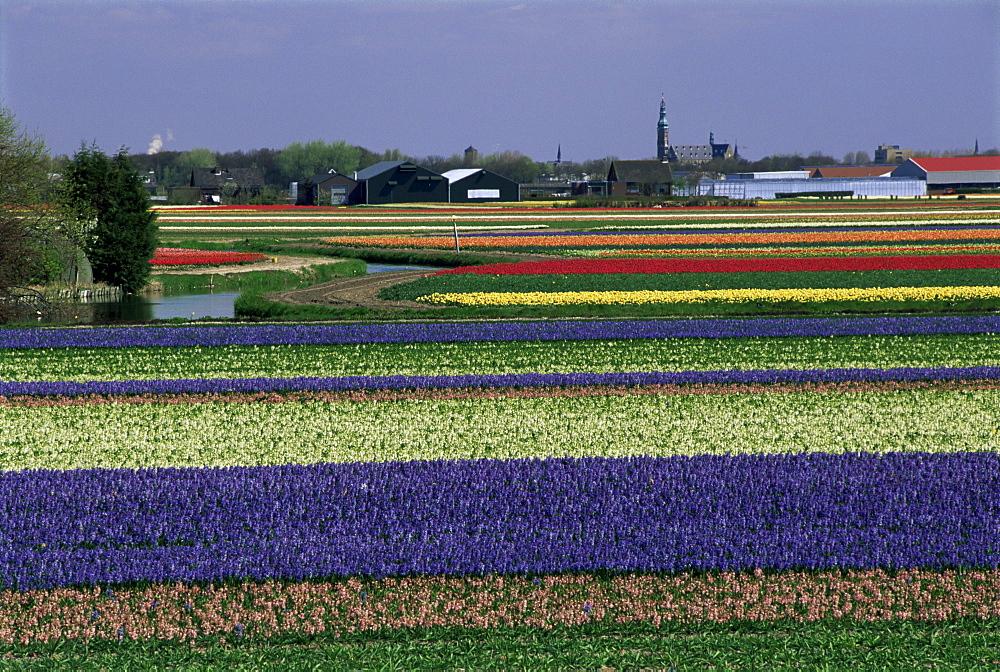 Tulip fields, Sassenheim vicinity, Holland, Europe