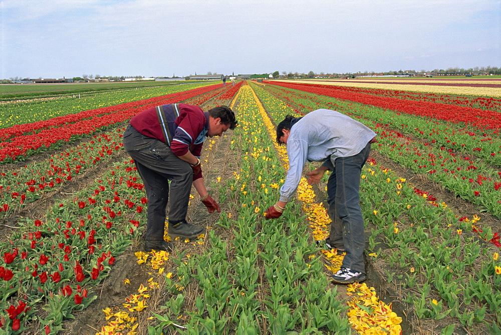 Men working harvesting in the tulip fields at Nordwijkerhout in Holland, Europe