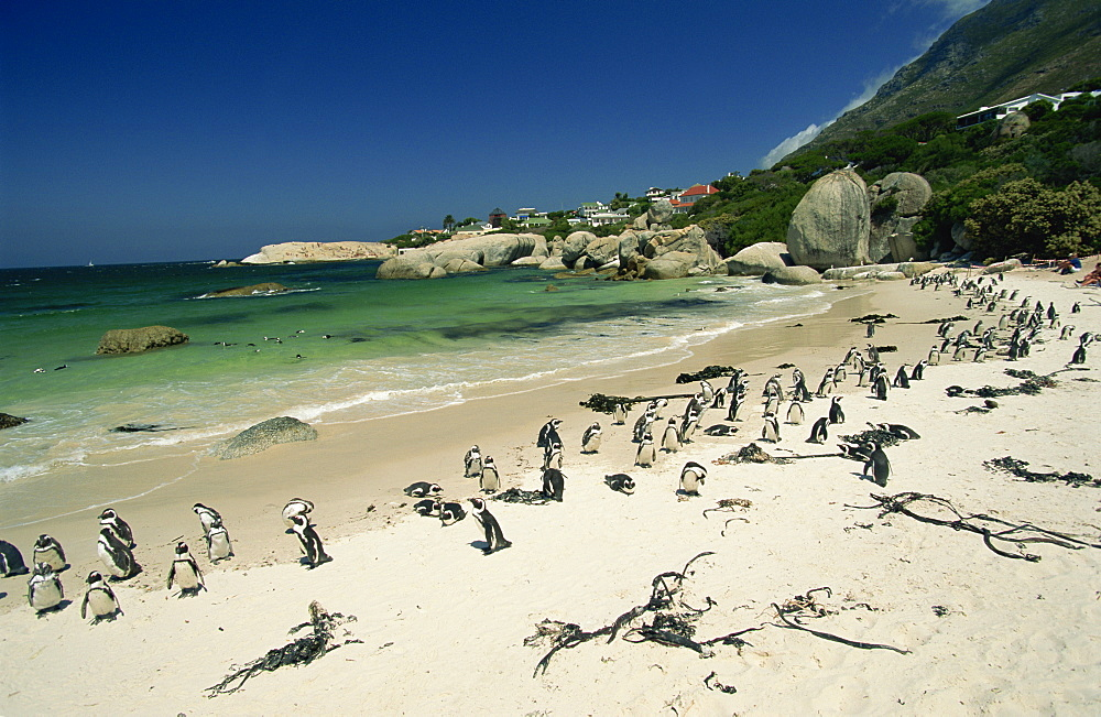 Colony of jackass penguins, Boulders Beach, near Simons Town, False Bay, Cape Province, South Africa, Africa