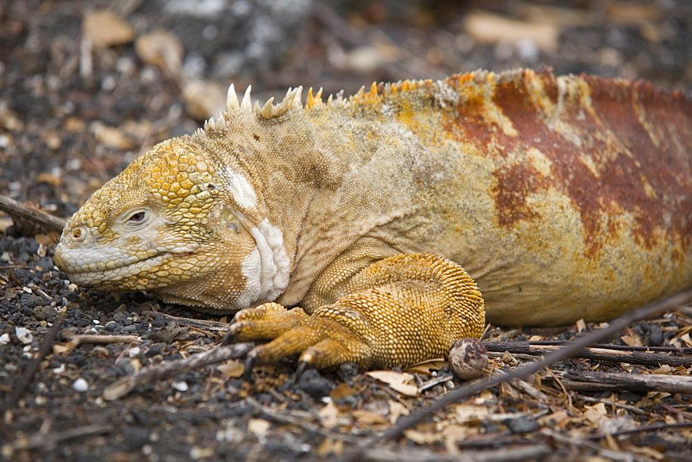 Land iguana, Isabela Island, Galapagos, Ecuador, South America