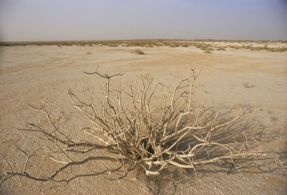 Desert plant between Nouadhibou and Nouakchott, Mauritania, Africa