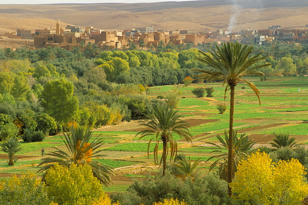 View over cultivated fields and palms to oasis town of Tinerhir, Dades Valley, Morocco, North Africa, Africa