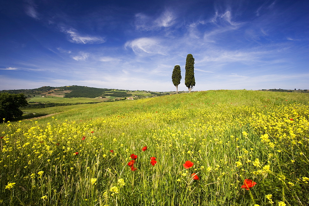 Field of poppies and oil seed with two cypress trees on brow of hill, near Pienza, Tuscany, Italy, Europe - 321-4490