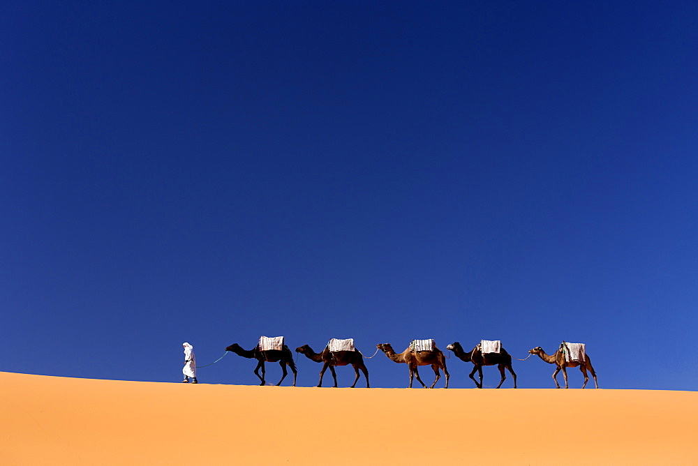 Berber man leading a train of camels over the orange sand dunes of the Erg Chebbi sand sea, Sahara Desert near Merzouga, Morocco, North Africa, Africa - 321-5526