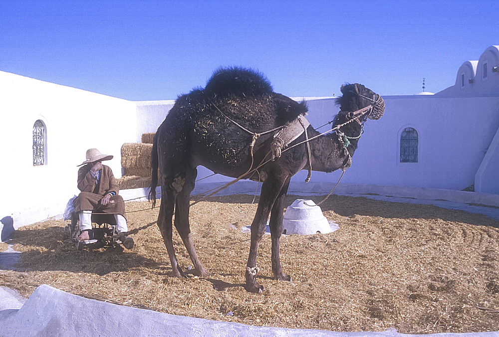 Camel at work, Guellala Museum, Djerba, Tunisia. *** Local Caption ***